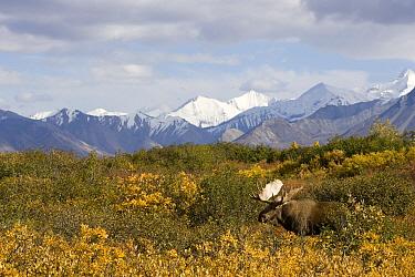 Alaska Moose (Alces alces gigas) bull with mountain range behind, central Alaska  -  Donald M. Jones