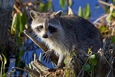 Raccoon (Procyon lotor) near water, Florida  -  Donald M. Jones