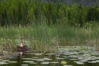 Red-necked Grebe (Podiceps grisegena) on floating nest, western Montana  -  Donald M. Jones