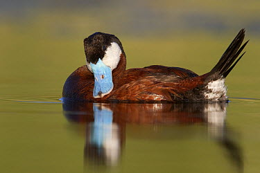 Ruddy Duck (Oxyura jamaicensis) male preening, central Montana  -  Donald M. Jones
