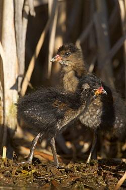 Sora (Porzana carolina) chicks, western Montana  -  Donald M. Jones