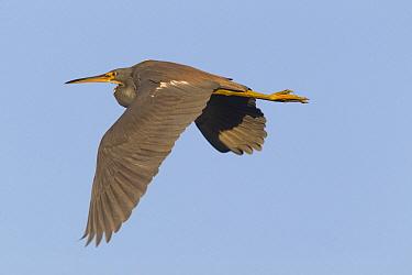 Tricolored Heron (Egretta tricolor) flying, Florida  -  Donald M. Jones