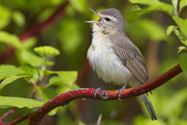 Eastern Warbling-Vireo (Vireo gilvus) male singing, northwest Montana  -  Donald M. Jones