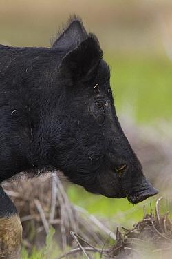 Wild Boar (Sus scrofa), Sarasota, Florida  -  Donald M. Jones