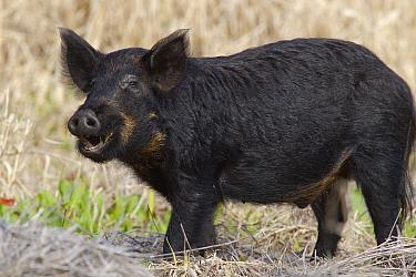 Wild Boar (Sus scrofa) male, Sarasota, Florida  -  Donald M. Jones