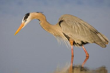 Great Blue Heron (Ardea herodias) foraging, Sarasota, Florida  -  Donald M. Jones