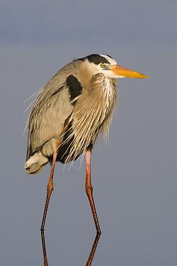 Great Blue Heron (Ardea herodias) standing in the shallows, Sarasota, Florida  -  Donald M. Jones