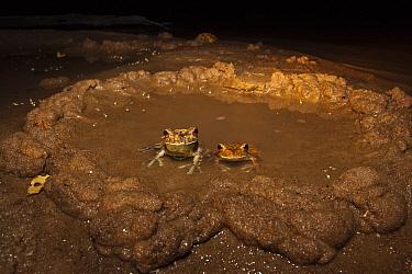 Giant Gladiator Treefrog (Hypsiboas boans) male and female in mud nest, Rewa River, Guyana  -  Pete Oxford