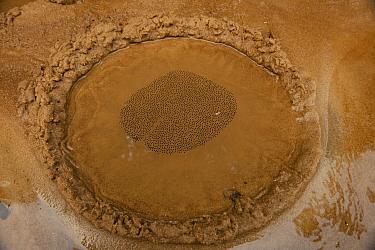 Giant Gladiator Treefrog (Hypsiboas boans) egg spawn in mud nest, Rewa River, Iwokrama Rainforest Reserve, Guyana  -  Pete Oxford