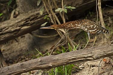 Rufescent Tiger-Heron (Tigrisoma lineatum) juvenile in alert position, Rewa River, Guyana  -  Pete Oxford