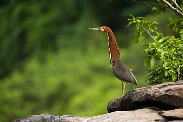 Rufescent Tiger-Heron (Tigrisoma lineatum), Rewa River, Guyana  -  Pete Oxford