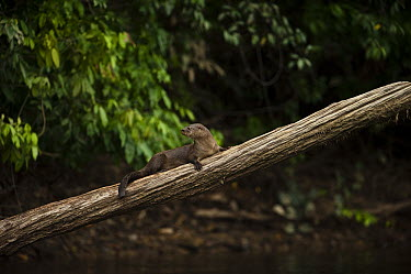 Long-tailed Otter (Lontra longicaudis) on log, Rewa River, Guyana  -  Pete Oxford