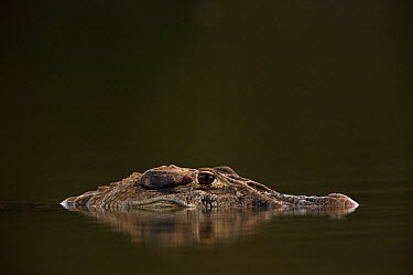Black Caiman (Melanosuchus niger) floating in river, Rewa River, Iwokrama Rainforest Reserve, Guyana  -  Pete Oxford