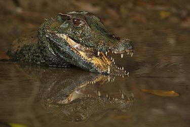 Schneider's Dwarf Caiman (Paleosuchus trigonatus) threat display, Rewa River, Guyana  -  Pete Oxford
