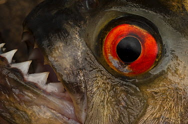 Black Piranha (Serrasalmus rhombeus) eye and teeth, Rewa River, Guyana  -  Pete Oxford