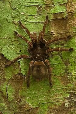 Goliath Bird-eating Spider (Theraphosa blondi), Rewa River, Guyana  -  Pete Oxford