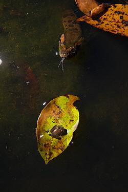 Green Anaconda (Eunectes murinus) surfacing to breath near tadpole on leaf, Rewa River, Iwokrama Rainforest Reserve, Guyana  -  Pete Oxford