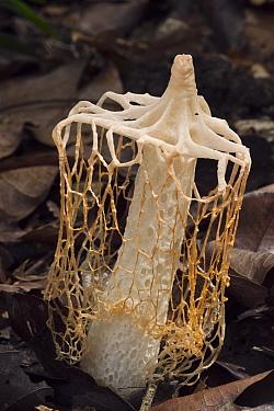 Stinkhorn (Phallus sp) mushroom, Rupununi, Guyana  -  Pete Oxford