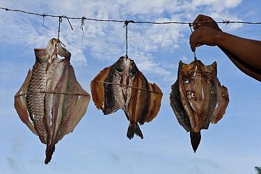 Fish dried by Macushi people, Yupukari Village, Rupununi, Guyana  -  Pete Oxford