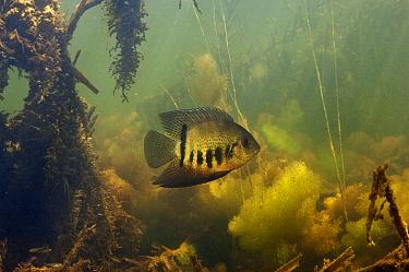 Banded Cichlid (Cichlasoma severum) in aquatic vegetation, Rupununi, Guyana  -  Pete Oxford