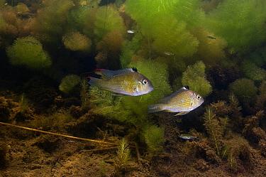 Threadfin Acara (Acarichthys heckelii) pair, Rupununi, Guyana  -  Pete Oxford