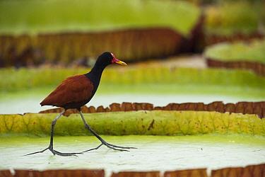 Wattled Jacana (Jacana jacana) on lily pad, Rupununi, Guyana  -  Pete Oxford