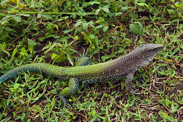 Jungle Runner (Ameiva ameiva), Rupununi, Guyana  -  Pete Oxford