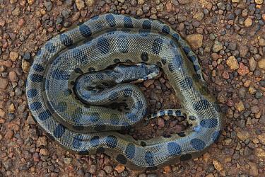 Green Anaconda (Eunectes murinus) juvenile, Iwokrama Rainforest Reserve, Guyana  -  Pete Oxford