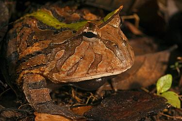 Amazon Horned Frog (Ceratophrys cornuta), Iwokrama Rainforest Reserve, Guyana  -  Pete Oxford
