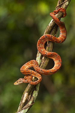 Common Tree Boa (Corallus hortulanus) climbing in tree, Iwokrama Rainforest Reserve, Guyana, manipulated image  -  Pete Oxford