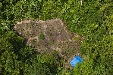 Marijuana (Cannabis indica) fields in rainforest, Guyana  -  Pete Oxford