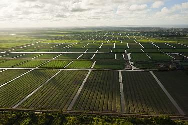 Sugarcane (Saccharum officinarum) plantations, Guyana  -  Pete Oxford
