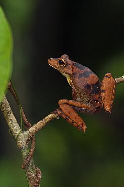 Giant Gladiator Treefrog (Hypsiboas boans), Iwokrama Rainforest Reserve, Guyana  -  Pete Oxford