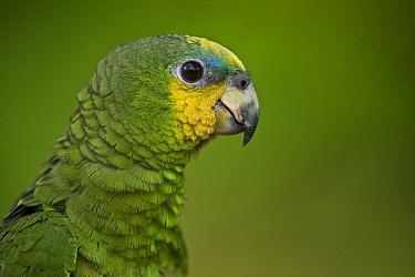 Orange-winged Parrot (Amazona amazonica), Iwokrama Rainforest Reserve, Guyana  -  Pete Oxford