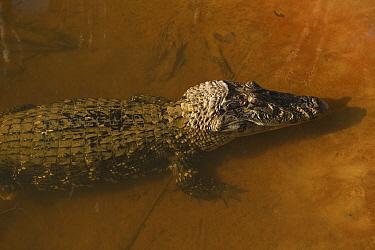 Black Caiman (Melanosuchus niger), Iwokrama Rainforest Reserve, Guyana  -  Pete Oxford