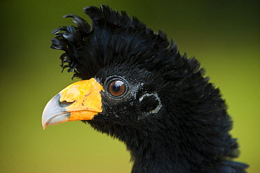 Black Curassow (Crax alector), Iwokrama Rainforest Reserve, Guyana  -  Pete Oxford