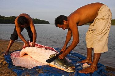 Arapaima (Arapaima gigas) getting butchered, Rupununi, Guyana  -  Pete Oxford
