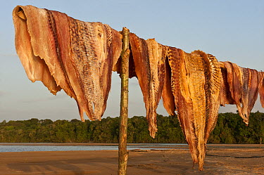 Arapaima (Arapaima gigas) meat drying in sun from legal harvest, Rupununi, Guyana  -  Pete Oxford