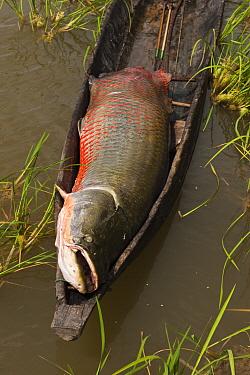 Arapaima (Arapaima gigas) caught by fisherman, Rupununi, Guyana  -  Pete Oxford