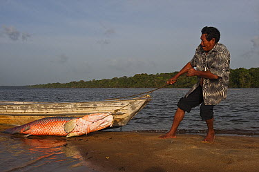 Arapaima (Arapaima gigas) getting dragged onto land, Rupununi, Guyana  -  Pete Oxford
