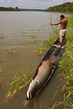 Arapaima (Arapaima gigas) and licensed fisherman, Rupununi, Guyana  -  Pete Oxford