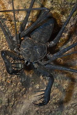 Tailless Whip Scorpion (Heterophrynus sp), Mapari, Rupununi, Guyana  -  Pete Oxford