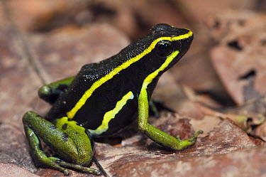 Three-striped Poison Dart Frog (Ameerega trivittata), Kanuku Protected Area, Rupununi, Guyana  -  Pete Oxford