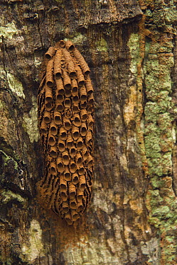 Sand Wasp (Sphecidae) mud tubes, Kanuku Protected Area, Rupununi, Guyana  -  Pete Oxford