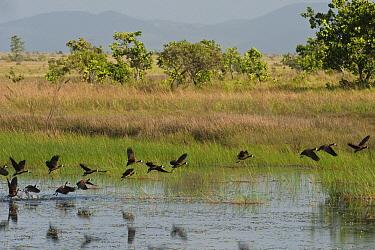 White-faced Whistling-Duck (Dendrocygna viduata) flock taking flight, Karanambu Lodge, Rupununi, Guyana  -  Pete Oxford