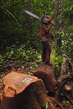 Sustainable logging operation, Iwokrama Rainforest Reserve, Guyana  -  Pete Oxford