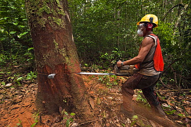 Sustainable logging operation, Iwokrama Rainforest Reserve, Guyana  -  Pete Oxford