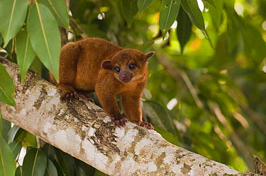 Kinkajou (Potos flavus) in tree, individual is part of legal pet trade, Georgetown, Guyana  -  Pete Oxford