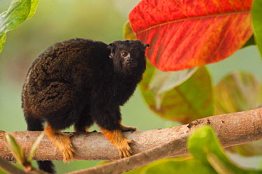 Midas Tamarin (Saguinus midas) in tree, indiviual is part of legal pet trade, Georgetown, Guyana  -  Pete Oxford