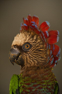 Red-fan Parrot (Deroptyus accipitrinus), wild caught and now part of legal pet trade, Georgetown, Guyana  -  Pete Oxford